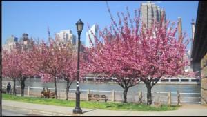RIHS Cherry Blossom